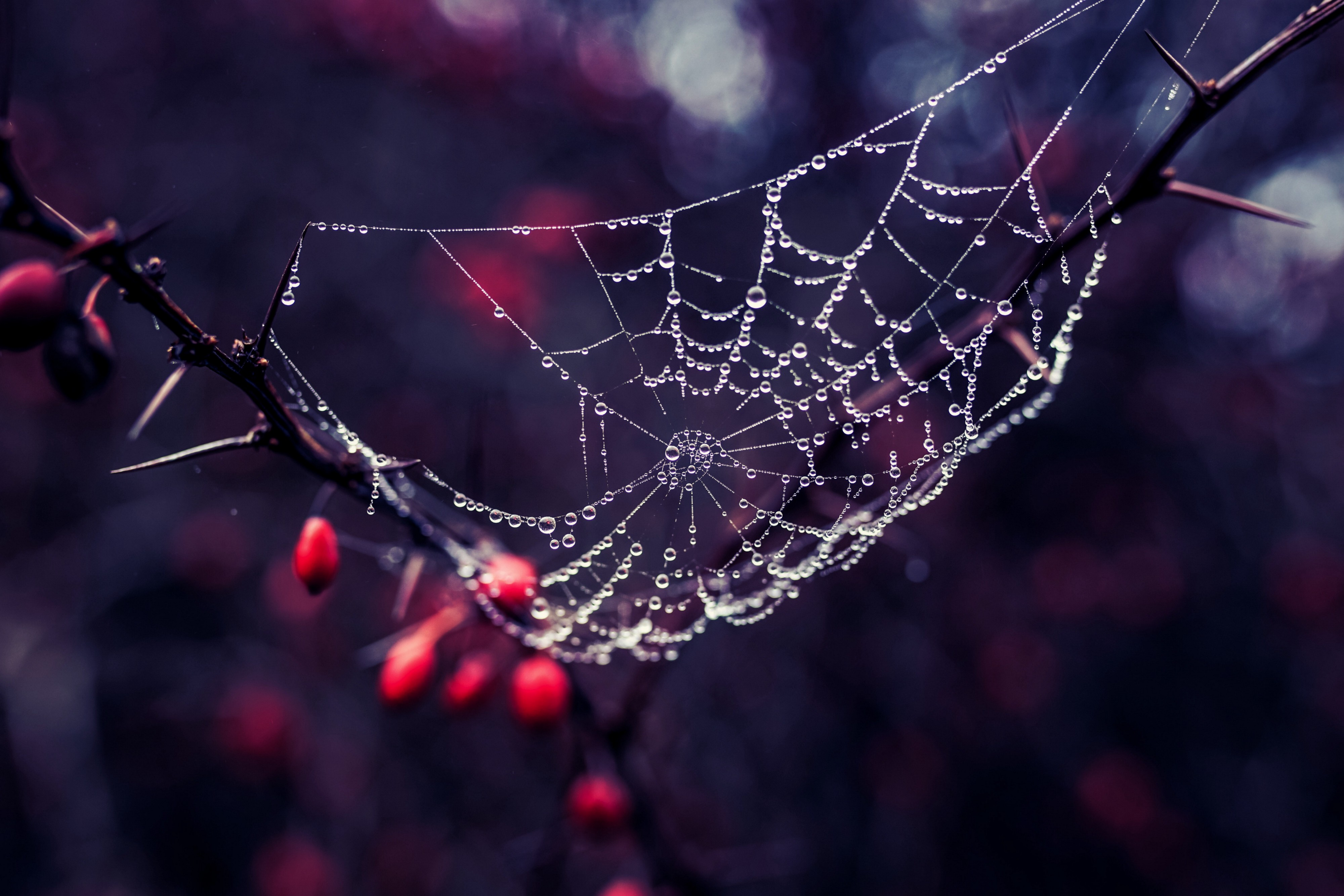 Spiderweb speckled with raindrops with a hazy background of red cherries and blue tinges