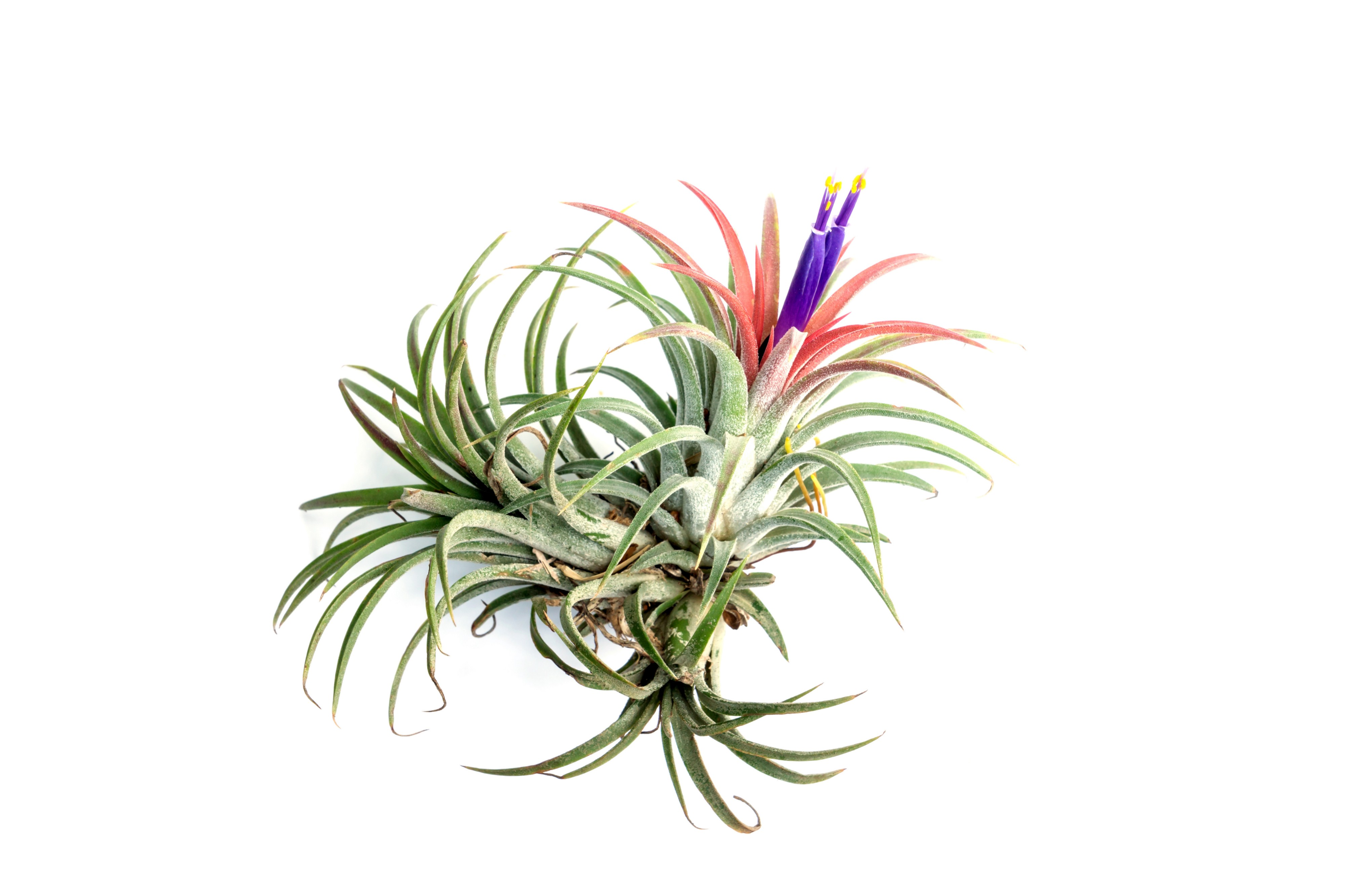 Air plant with spiky green leaves, bare roots, and purple and pink flowers