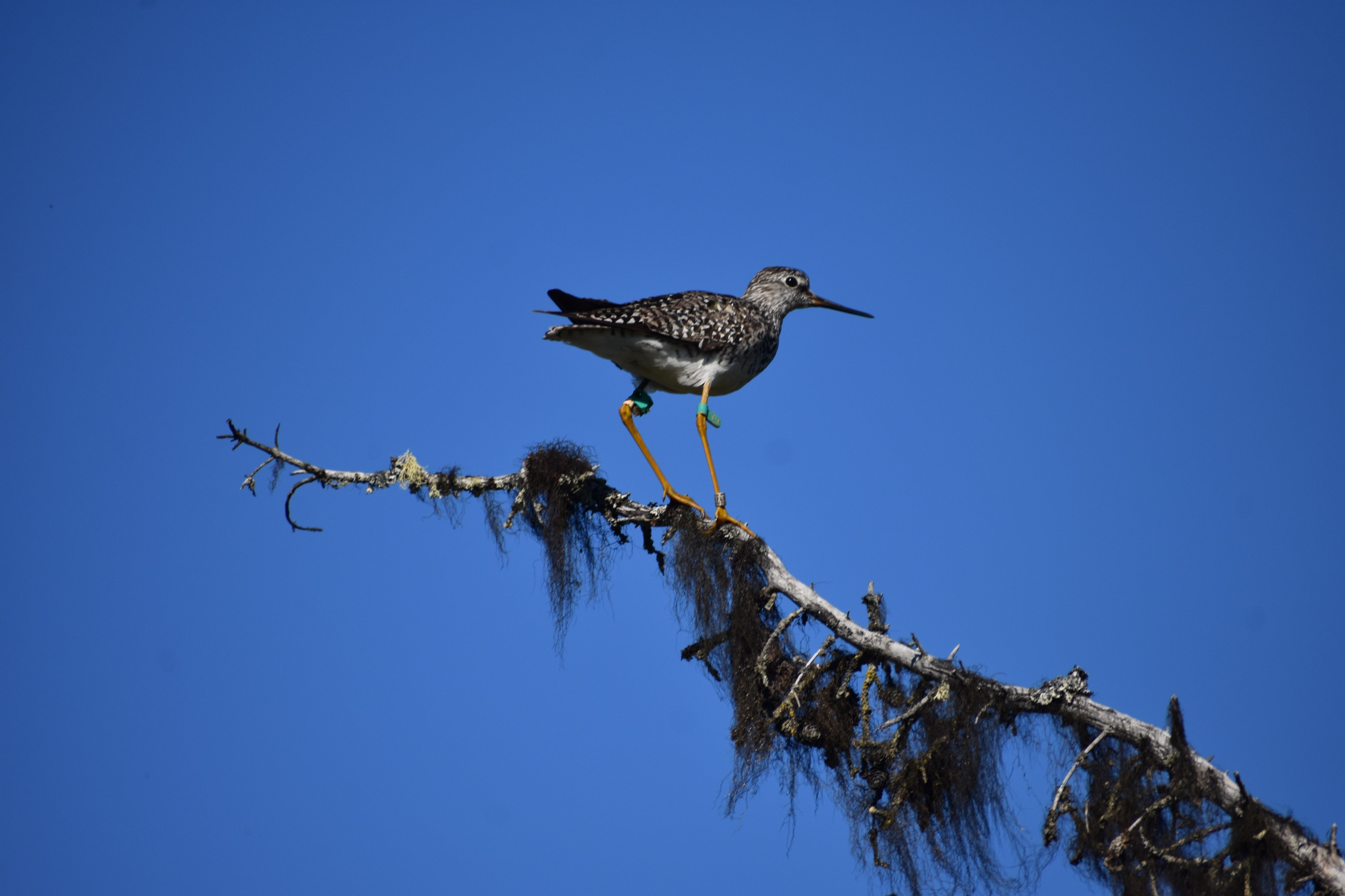 A lesser yellowlegs with leg bands perches on a branch