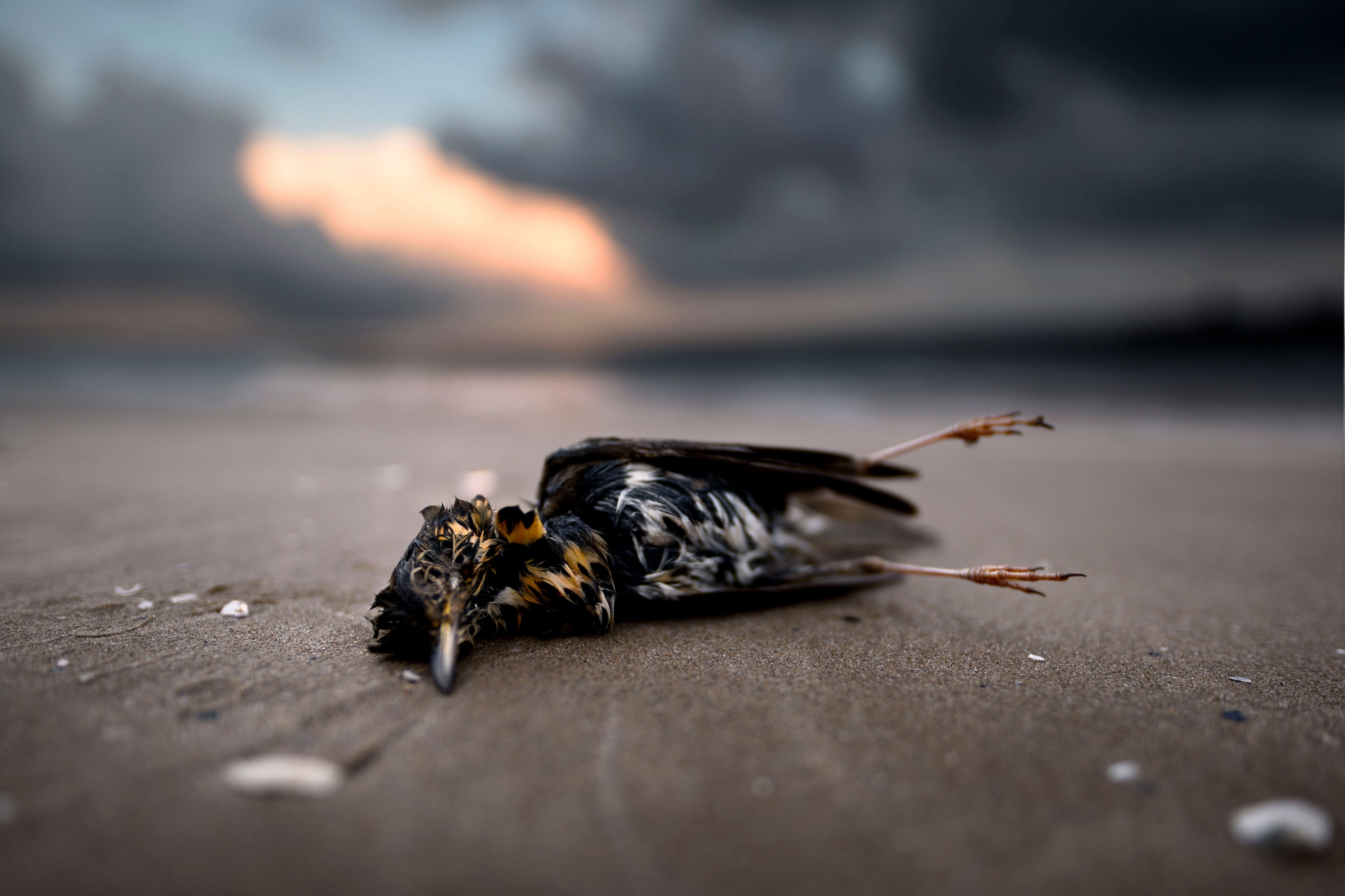 The corpse of a small bird on a beach with white and dark feathers