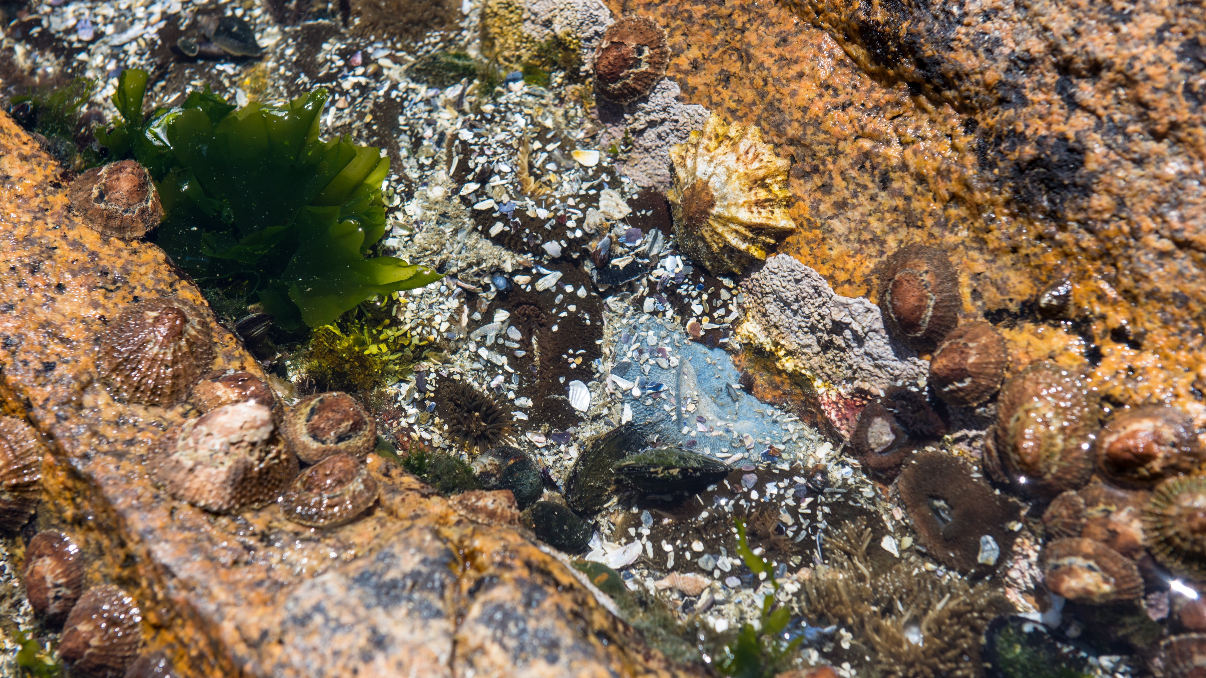 A picture of clams, mussels, and alga on stone in a tide pool in South Africa by Birger Strahl
