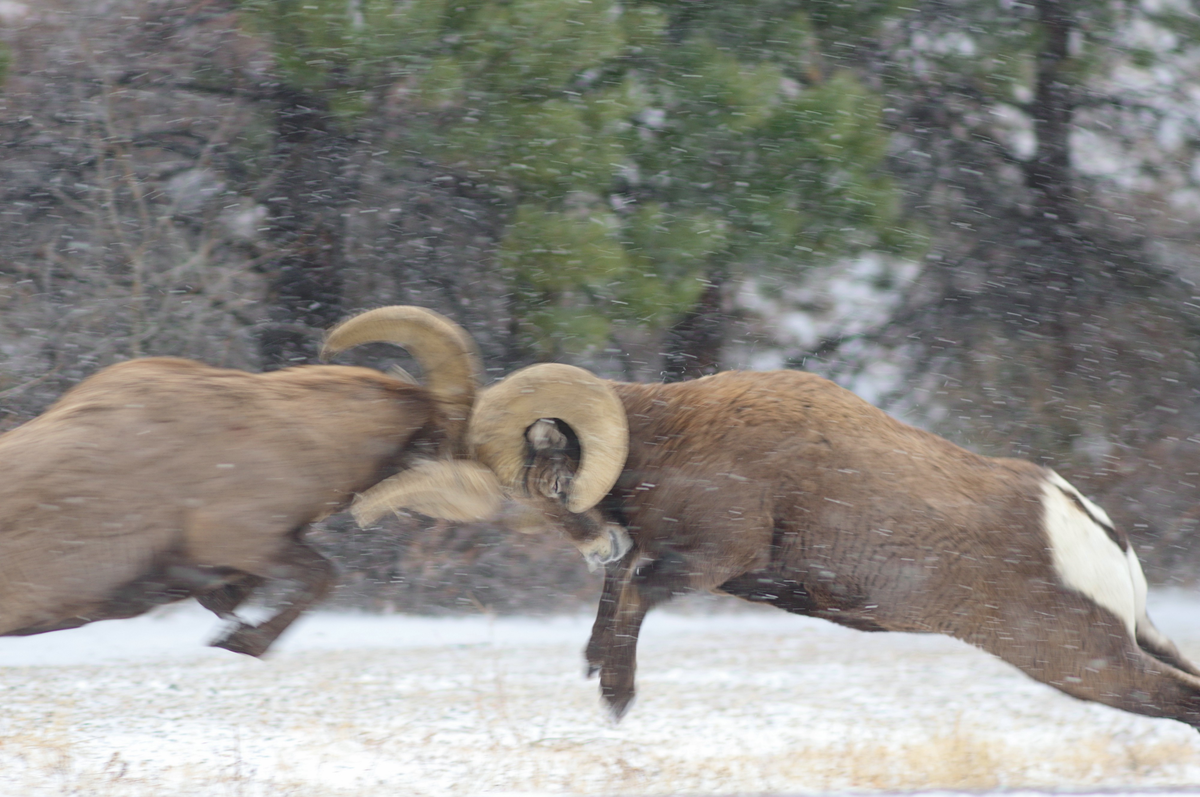 Up-close Look at Battling Bighorn Sheep - Updates from the