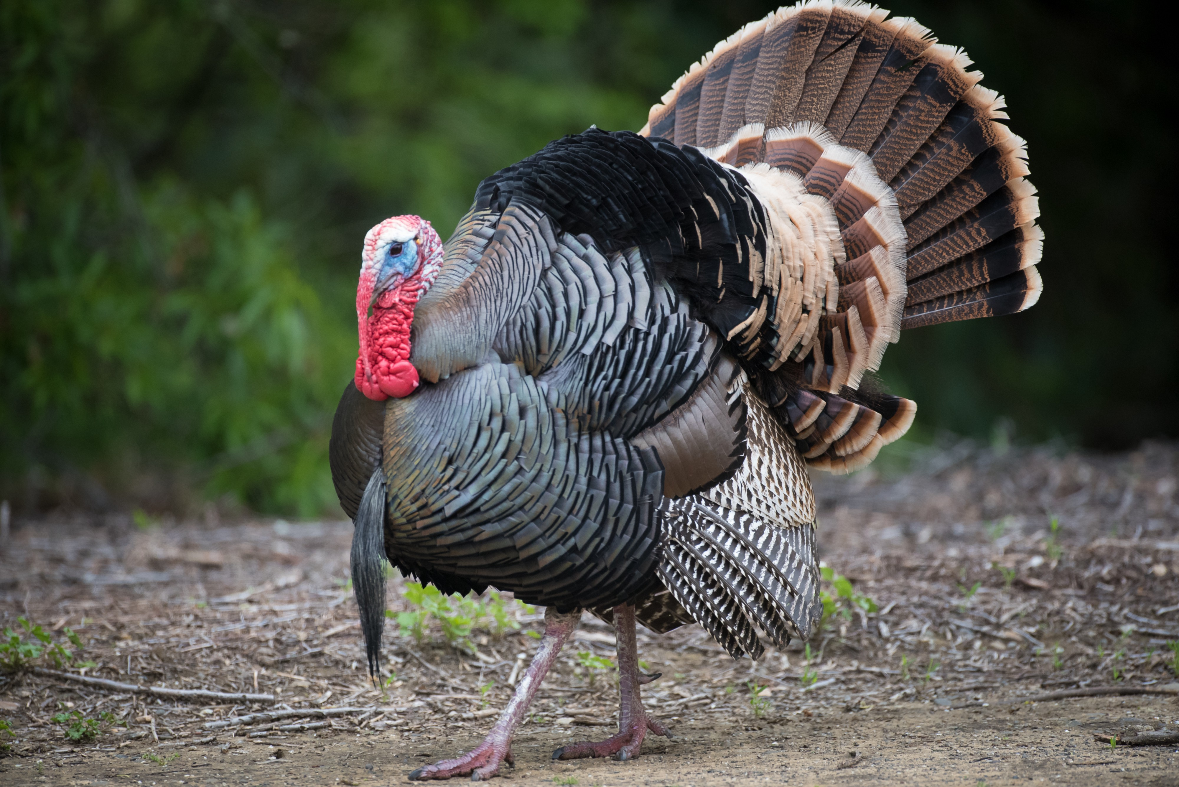 A tom turkey spreads his tail fan while walking in a clearing.