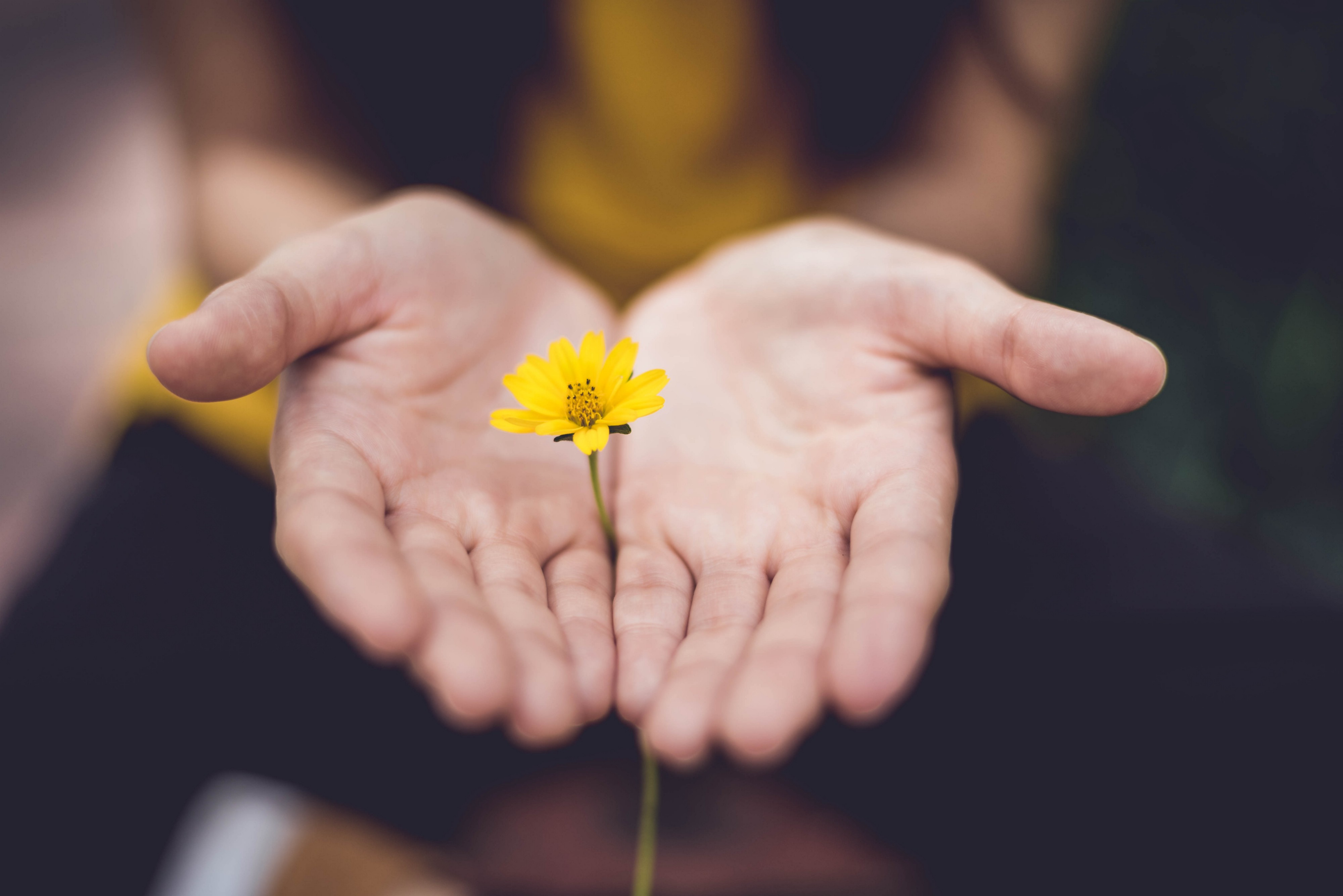A woman's hands holding a small yellow flower between them (palms up).