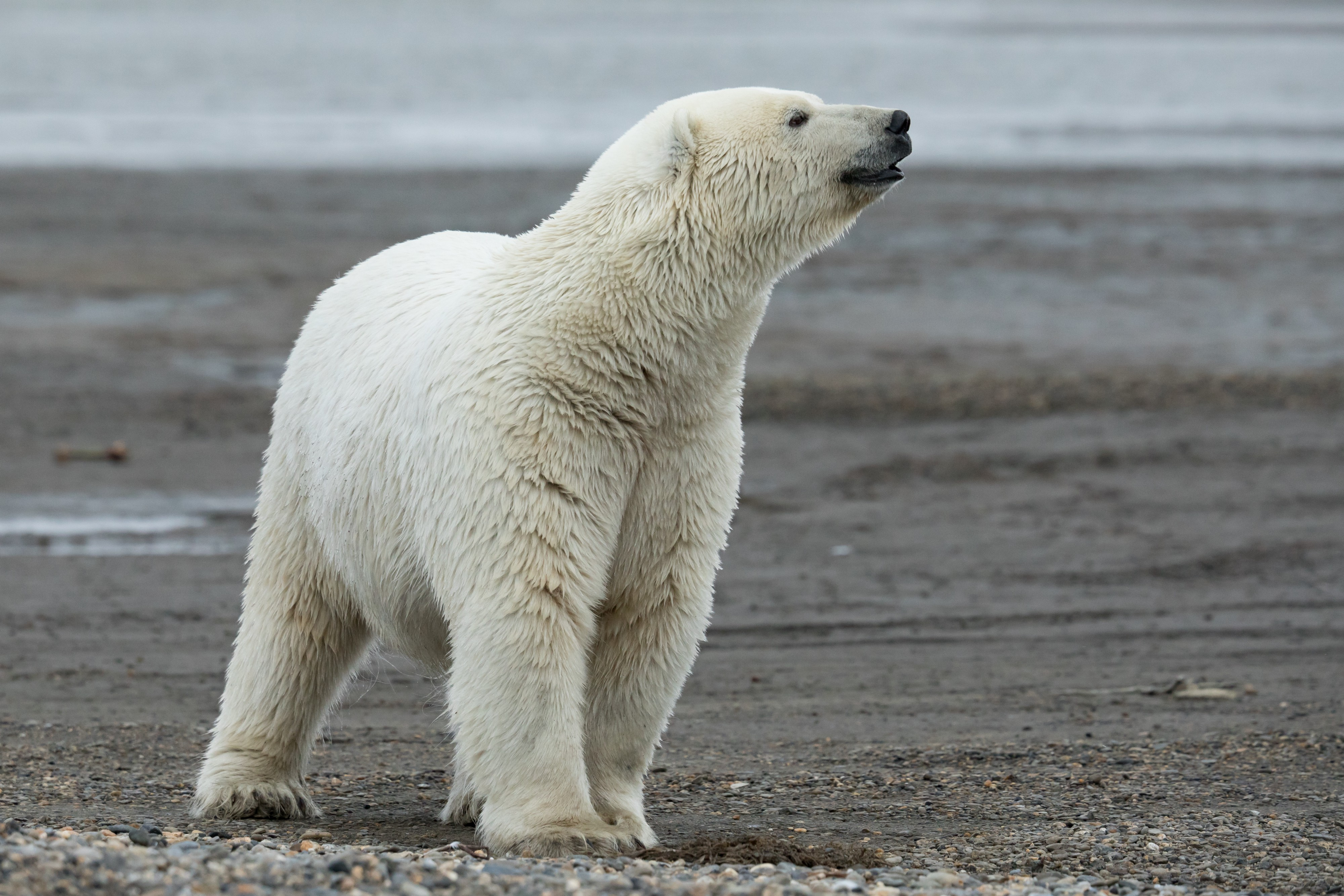 An adult polar bear with head lifted to the side, sniffing the air.