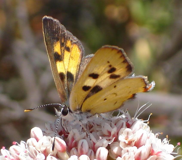 Hermes copper butterfly feeding on nectar of California buckwheat