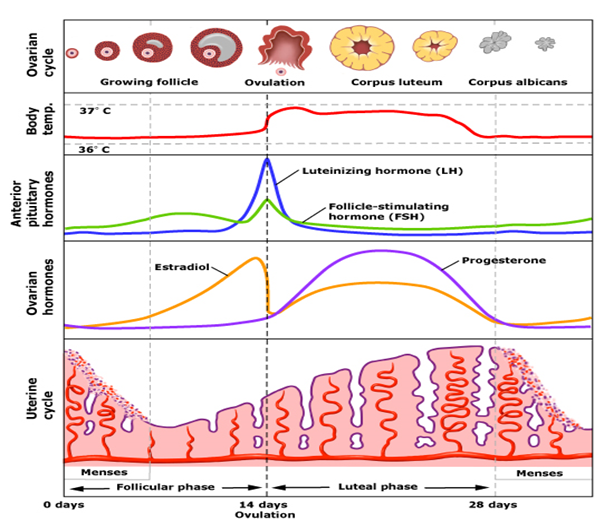 Menstrual Cycle  U2014 An Important Process Of Human