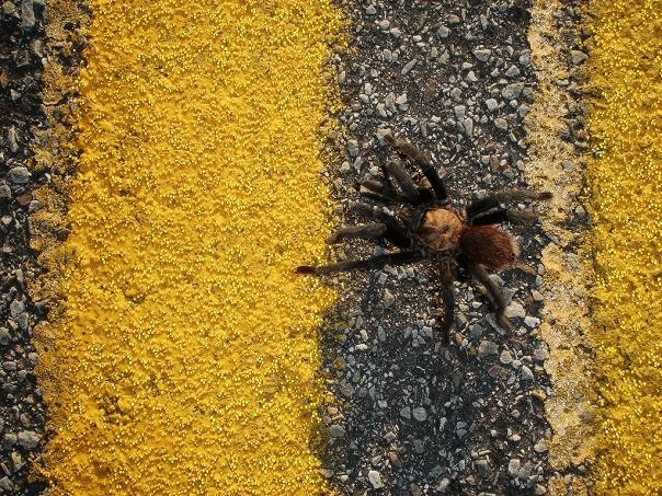 tarantula walking across yellow road lines