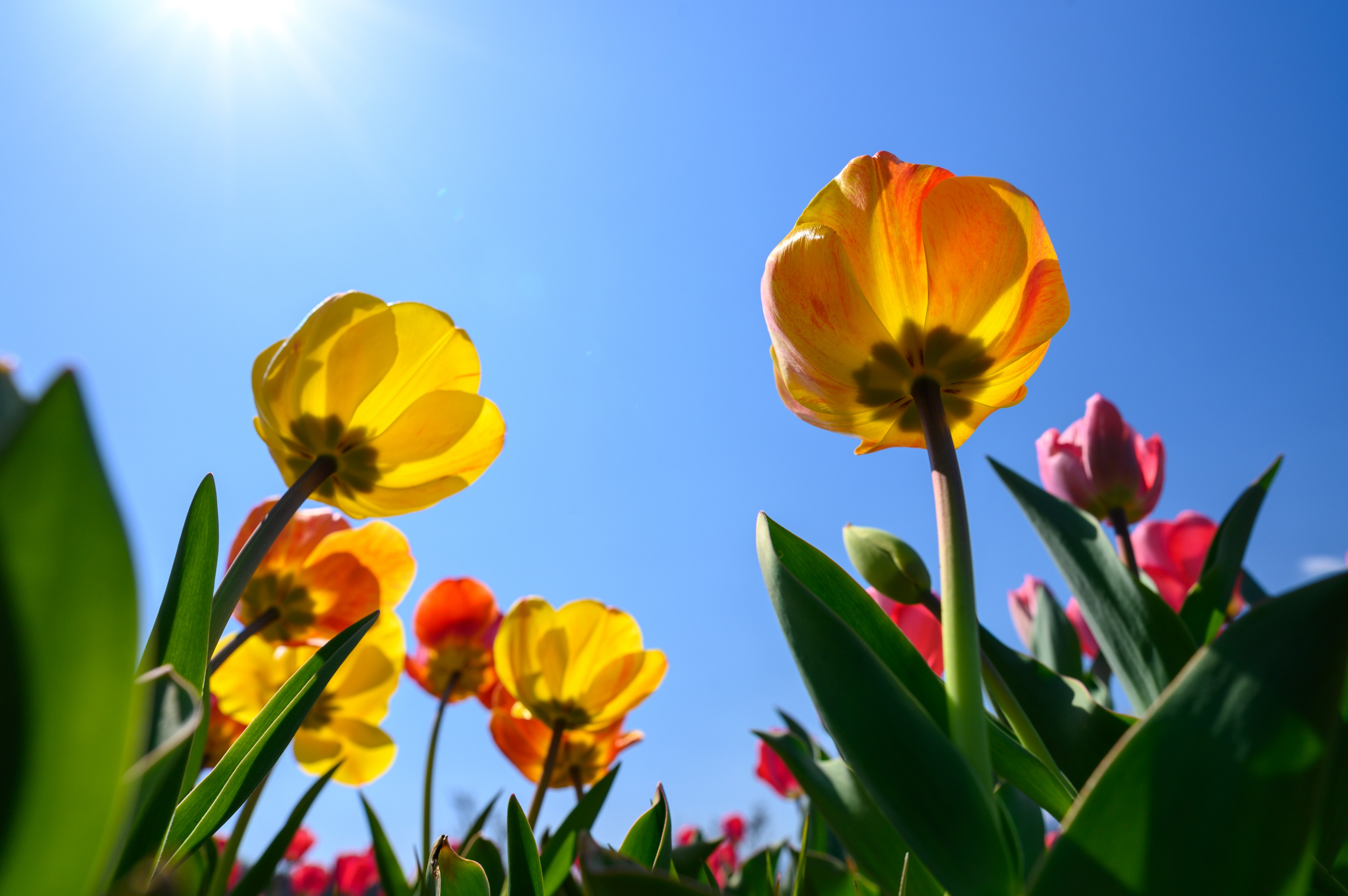 Red and yellow tulips face up yo a bright blue sky.
