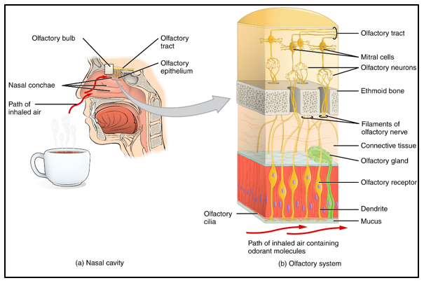 Schematic overview of the anatomy of the olfactory system.