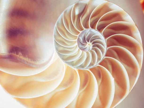 The Fibonacci illustrated by the cross section of a pearl nautilus.