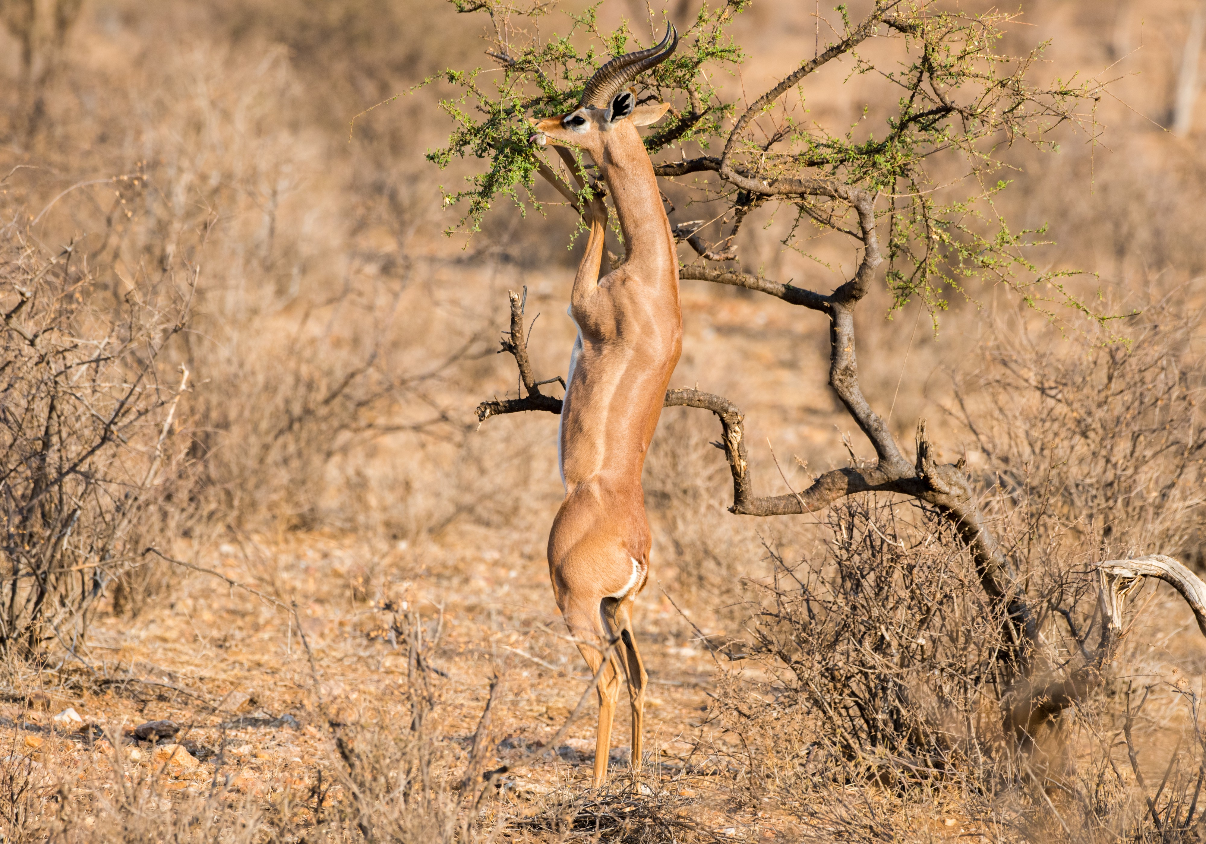 an antelope type creature with a very long, thick neck and short back legs, reaching for a tall bit of greenery