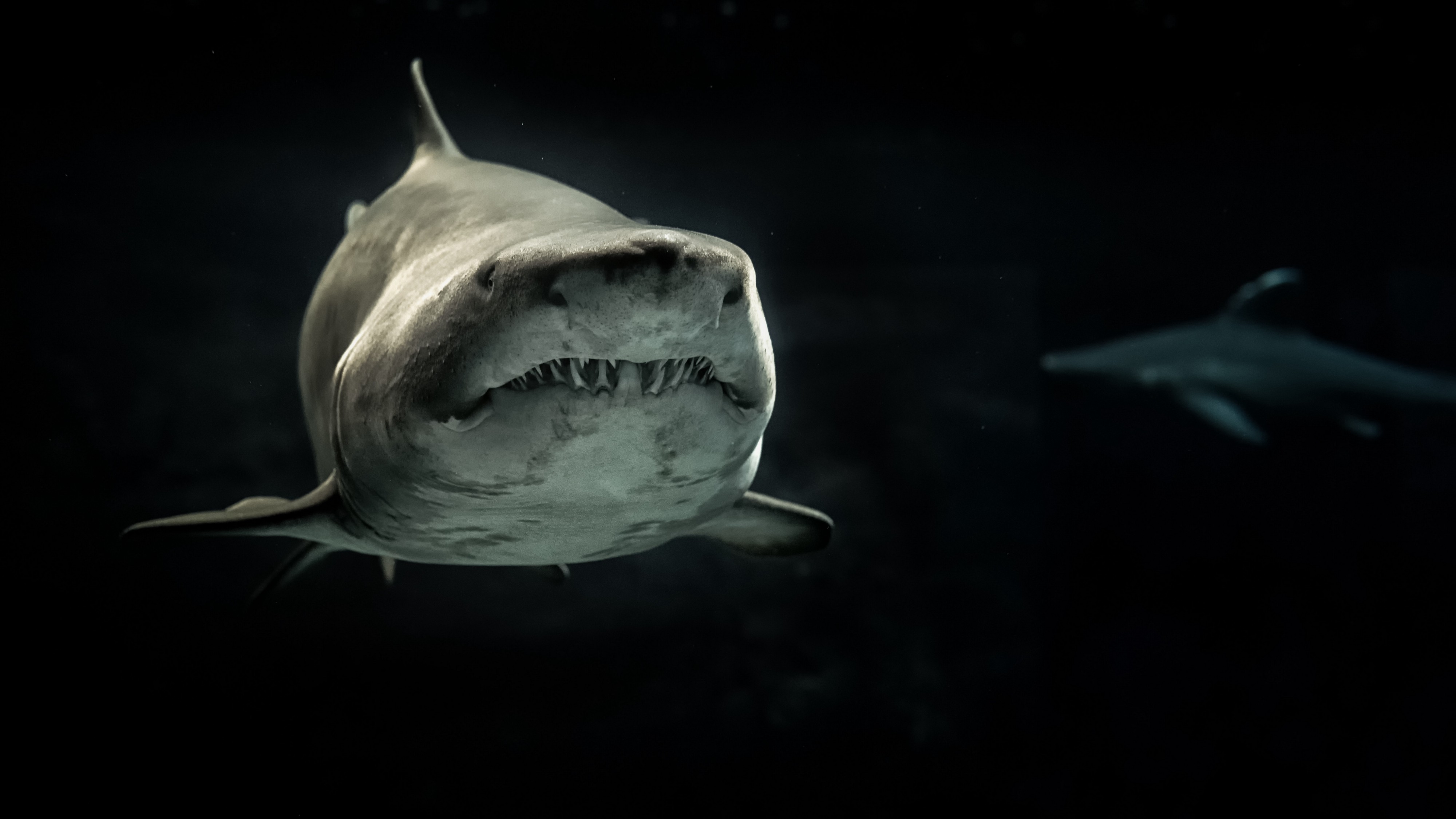 A looming shark grimaces at the camera as another swims behind it in the distance, masked by shadow.