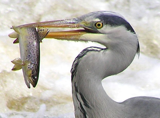 Heron catching a fish, This file is licensed under the Creative Commons Attribution-Share Alike 2.0 Generic license.