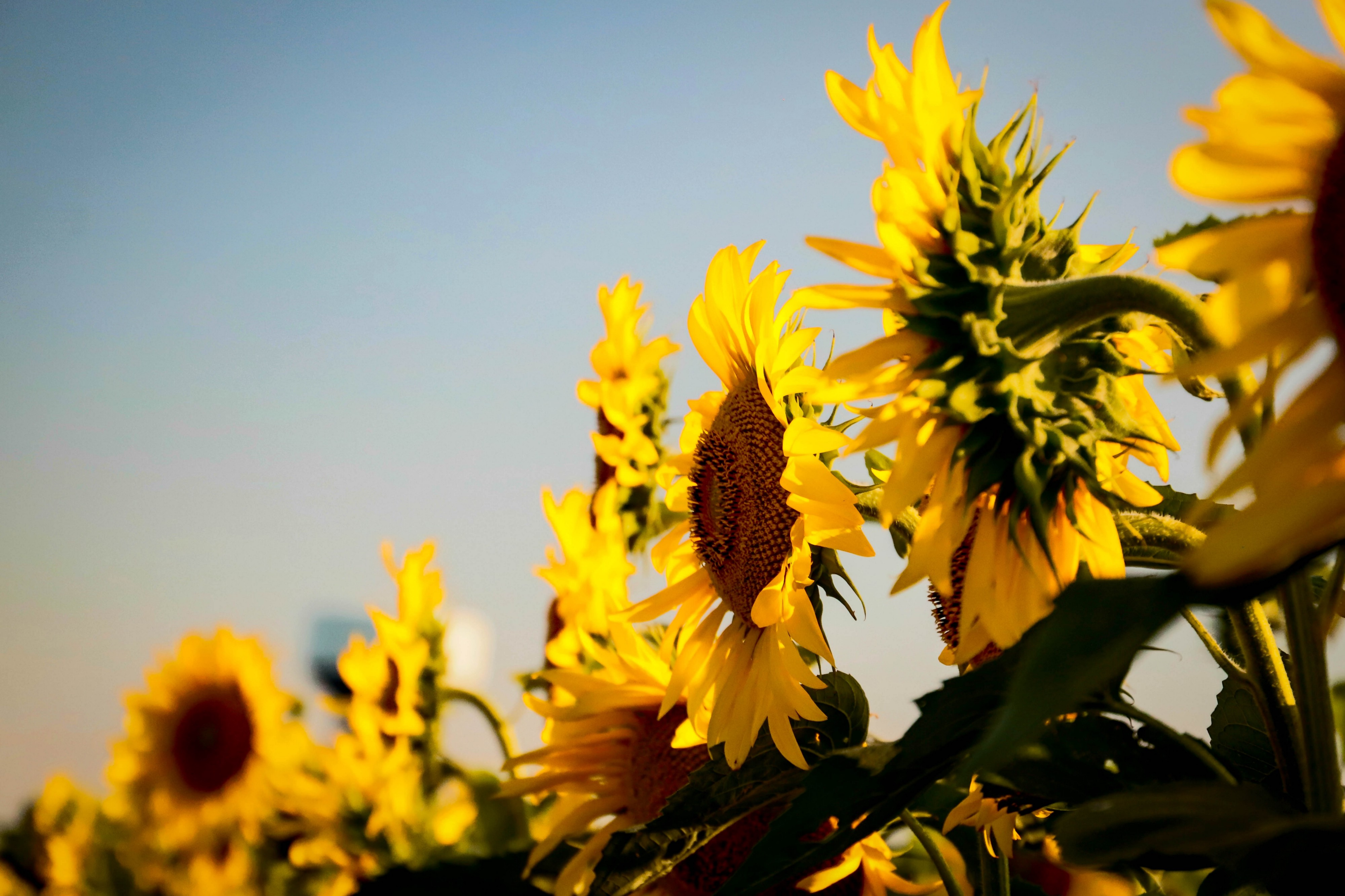 A row of sunflowers growing in the sunshine against a background of blue sky.
