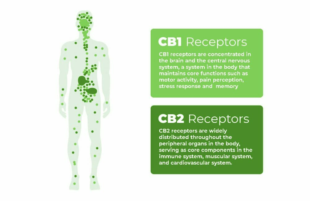 cannabinoid receptors - Element Earth CBD