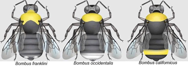 An illustration of three bees showing the defining characteristics of Franklin's bumble bees in comparison to two other species of bees