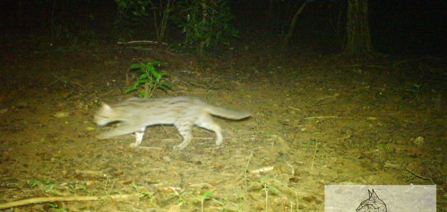 night photo of the rusty-spotted cat