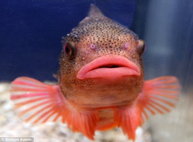Pufferfish with enormous lips.