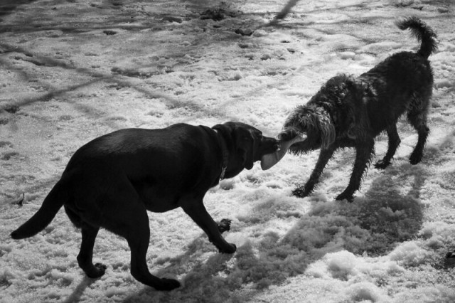 Two dogs fighting over a piece of meat