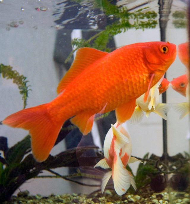 The Top 5 Fish to Grow in Large Scale Aquaponic Systems