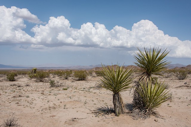 Clouds with Mojave yucca in Pinto Basin
