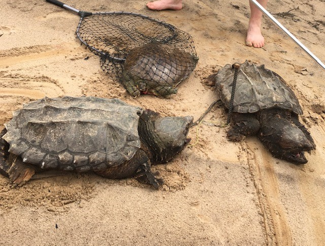 3 alligator snapping turtles on sand, one in net; pair of bare feet nearby