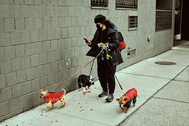 A woman walking 3 dogs while using her phone