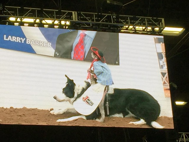 Whiplash the capuchin monkey rides his dog and herds sheep at the New Mexico State Fair