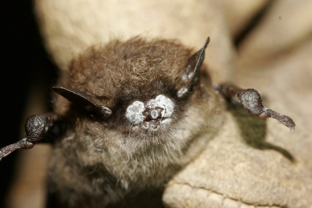 A bat with its nose covered in white fungus is shown to the camera