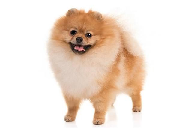 10 Small Dog Breeds Dogs No Matter What Their Size Or By Poly Trendy Medium