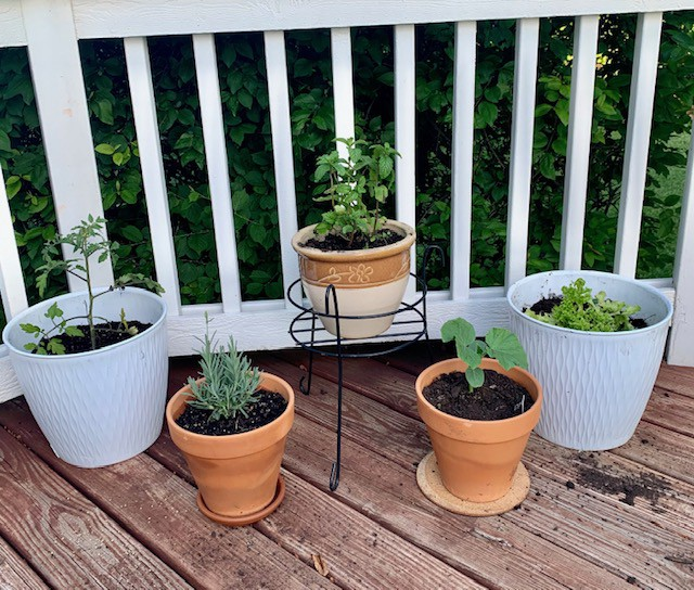 Container garden of tomato, mint, lavender, cucumber, and lettuce.