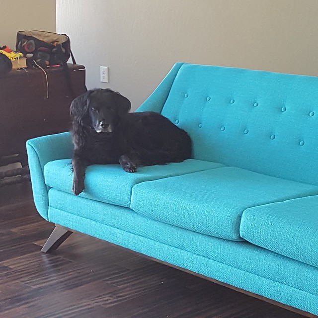 My labradoodle collie and cocker spaniel dog with black hair on a bright turquoise sofa