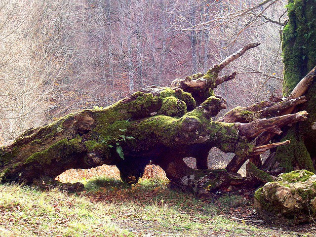 A long-fallen, dead tree with jagged branches covered in moss
