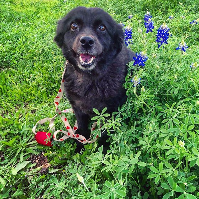 A smiling black chow-mix dog sits among green leaves and blue flowers