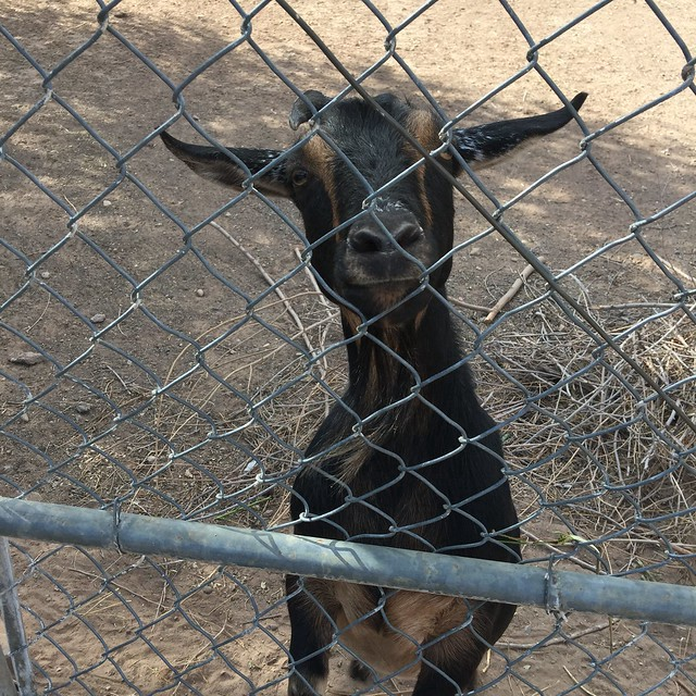 Summer, a black goat with gold eyes, one horn, and two ears, one pointing left and one pointing right