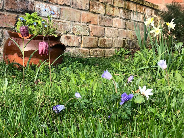 Fritillaria, anemones and narcissi bloom in front of the emerging feverfew and forget-me-not—by luck self seeded in a pot