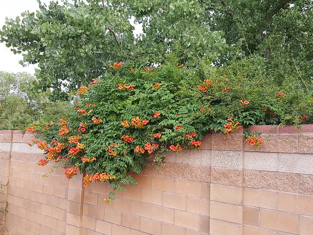 A trumpet vine with orange blossoms that attracts hummingbirds