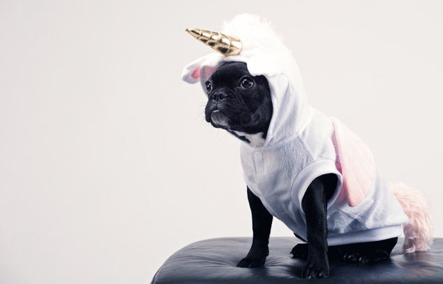Cute pug dog with pink costume looks onward. She believes she's a unicorn, therefore she is, may her courage endure her might