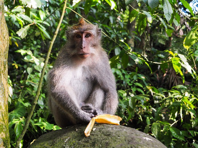 Monkey staring straight ahead with banana peel in front of it and a green, leafy brush behind it.
