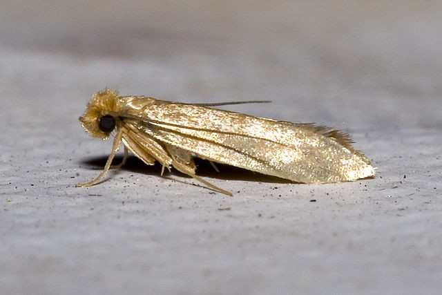 Clothes moth on surface