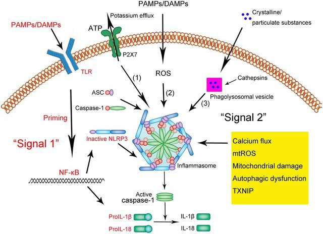 PAMPs/DAMPs-inflammasome activation