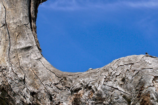 Photograph of Australian gray tree trunk detail against rich blue sky, taken for healing by a holistic medical doctor