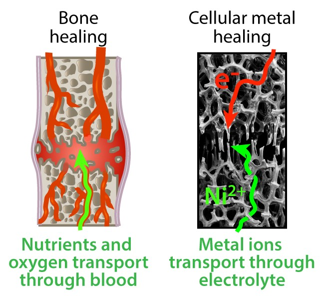 A diagram showing the similarity between bone and metal foams; raw materials and energy needed for repair flow through them.
