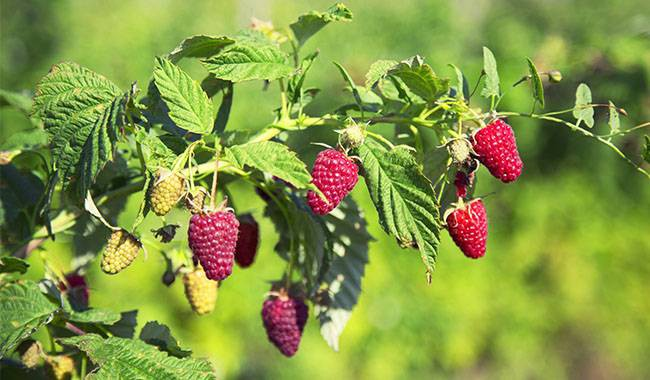 How to care for raspberry bushes in fall