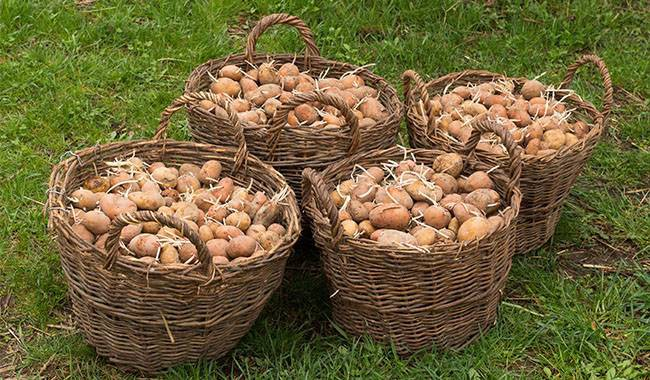 How to save seed potatoes storage them long term