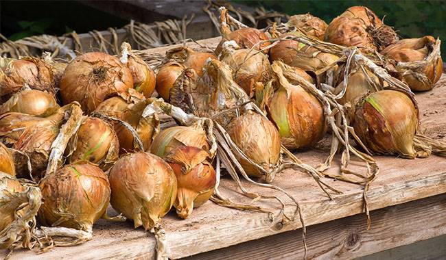 Pests that cause onion leaves turning yellow