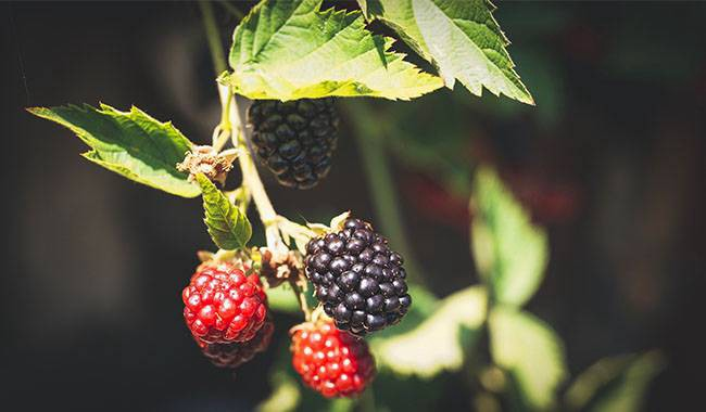 How to caring for blackberries