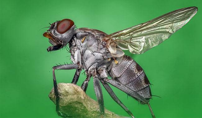 Garden care How to control the Delia Antiqua(onion fly)