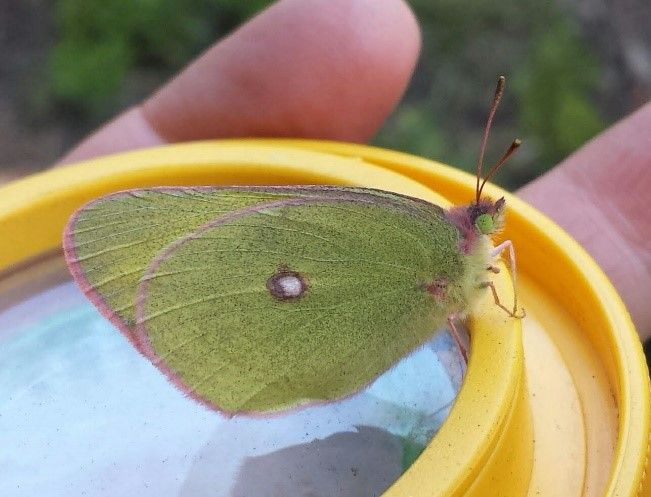 green butterfly with spot on wing